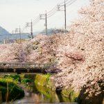 尾道の桜2016「桜土手」☆約1.7kmにわたって続く、栗原川沿いの桜並木にうっとり。