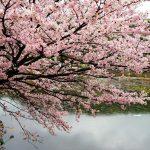 尾道の桜・桃2017 しまなみ海道 向島の桜と桃を訪ねて、高見山、向島運動公園など