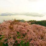 ゆめしま海道の桜2017 黄金に染まる桜が絶景!岩城島「積善山三千本桜」は、まさに天女の羽衣!
