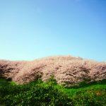 三原市佐木島の絶景桜めぐり-1『塔の峰千本桜』は、青空に浮かぶピンク色の綿帽子のよう。