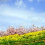 三原市佐木島の絶景桜めぐり-3『志呂谷花見園(道祖神の丘)』、丘上の雄大な桜と菜の花のコントラスト!