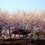 三原市佐木島の絶景桜めぐり-2『港の丘公園』、佐木島鷺港目の前にある桜の名所!