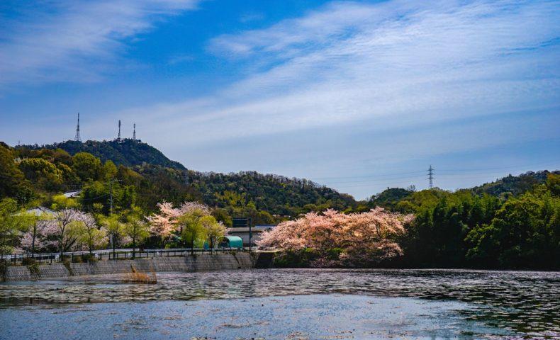 尾道の桜2019☆しまなみ海道・尾道市向島「国立公園 高見山」ふもとの桜