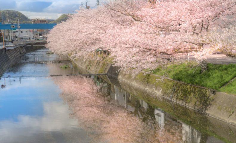 尾道の桜2019☆尾道市桜町「桜土手」約1.7km続く桜並木が圧巻!