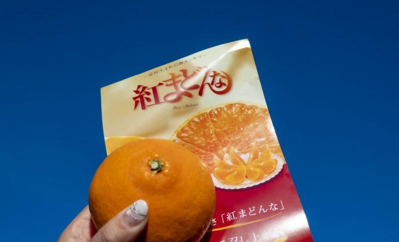 高級柑橘「紅まどんな」をお手頃価格で箱買い!尾道市向島町『山一楠青果』