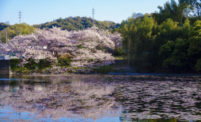尾道の桜2020☆しまなみ海道・尾道市向島「国立公園 高見山」ふもとの桜
